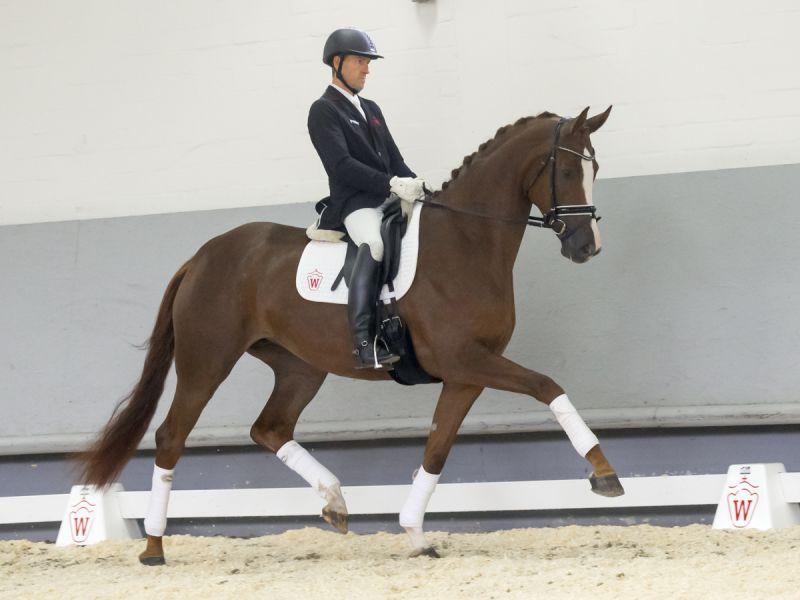 Teuerstes Pferd der Auktion war Nr. 4 Diamonique v. Don Nobless/Laudabilis