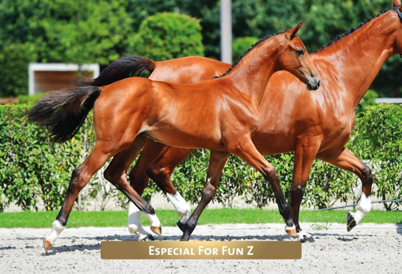 Die 160.000 Euro-Preissensation Especial For Fun Z v. Eldorado vd Zeshoek a.d. St.Pr.St. Fit for Fun v. For Pleasure  (Paarendfotograaf.be)